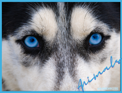 Animal characters in storytelling: a husky with clear blue eyes looking into the camera